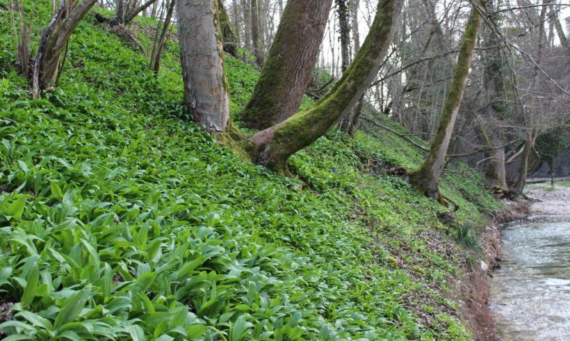 A spring that lasts: year-round wild garlic paste